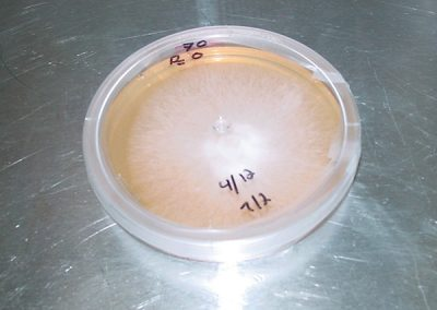 A close-up of one of the petri dishes shows the mushroom mycelium.
