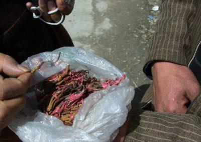 Cordyceps Tibet
