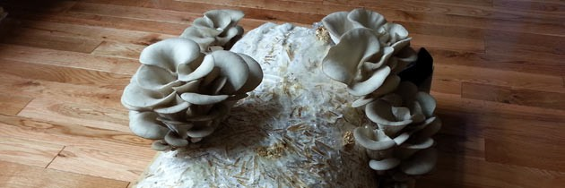 Oyster mushrooms from Micro Farms of Americal