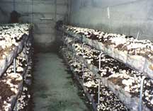 Agaricus bitorquis Cultivation