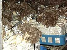 Grifola frondosa