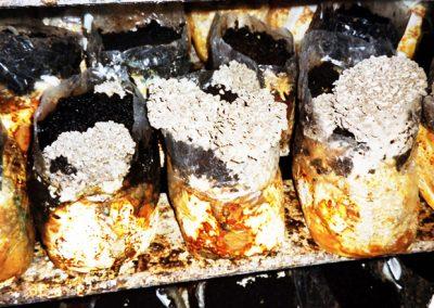 Maitake mushrooms.