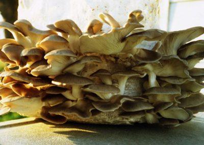 Oyster Mushrooms.