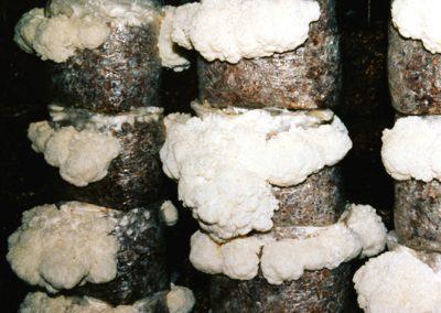 Hericium Mushrooms.