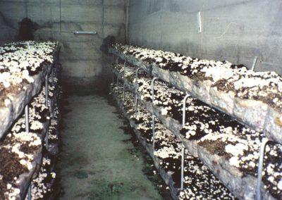 White Mushrooms (Agaricus bisporus).