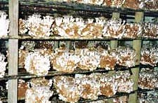 Shiitake Logs from China